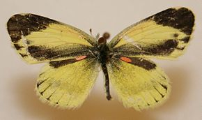 Description de l'image Dainty Sulphur Megan McCarty16.jpg.
