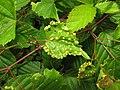 Daktulosphaira vitifoliae.jpg
