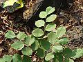 Dalbergia latifolia (2442452701).jpg