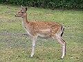 Dama dama at Serengeti-Park-Hodenhagen.jpg