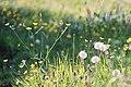 Dandelion clocks (seed heads) in a meadow.jpg