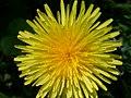 Dandelion flower head (2008-05-04 pic03).jpg