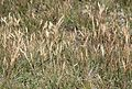 Danthonia intermedia mountain wild-oat grass.jpg