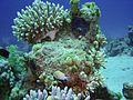 Dascyllus marginatus, Egipto 5.jpg