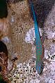 Day Gecko (Phelsuma modesta isakae) (10312761893).jpg