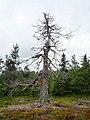 Dead Tree (4882785969).jpg