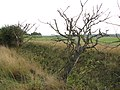 Dead tree in a hedgerow growing beside a drainage ditch - geograph.org.uk - 1951104.jpg