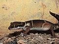 Deccan Banded Gecko Geckoella deccanensis by Dr. Raju Kasambe DSCN7960 (44).jpg