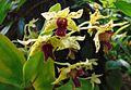Dendrobium Andree Millar.jpg