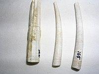 Dentallium sp.3 - Plioceno.JPG