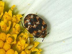 carpet beetle. varied carpet beetle o