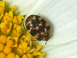 Varied carpet beetle species of insect