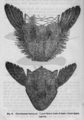 Descent of Man - Burt 1874 - Fig 31.png