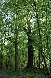 Dessau-Roßlau, Kleutsch, natural monument, oak.jpg