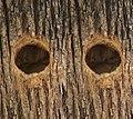 Detail nest entrance Melanerpes cactorum - 3-D crossed-eyes.jpg