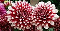 Dhalia from Lalbagh flower show Aug 2013 7927.JPG
