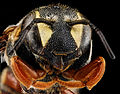 Dianthidium concinnum, M, face, Pennington County, South Dakota 2012-11-19-18.08.51 ZS PMax (8245381167).jpg