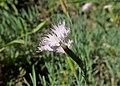 Dianthus anatolicus kz02.jpg
