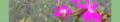 Dianthus deltoides. Reader.png