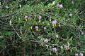 Dichrostachys cinerea (Sickle Bush) W IMG 9447.jpg