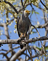 Dickinson's Kestrel (Falco dickinsoni) (23424942019).jpg