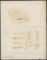 Dicotyles spec. - 1700-1880 - Print - Iconographia Zoologica - Special Collections University of Amsterdam - UBA01 IZ21900235.tif
