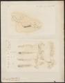Dicotyles spec. - 1700-1880 - Print - Iconographia Zoologica - Special Collections University of Amsterdam - UBA01 IZ21900235.tif
