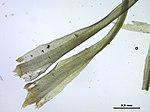 Dicranum fulvum (d, 143220-475506) 3350.JPG