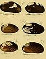 Die Flussperlmuscheln (Unio et Hyria.) in Abbildungen nach der Natur mit Beschreibungen (1848) (20728699519).jpg