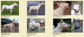 Differences between Bull Terrier and Gull Terrier.png