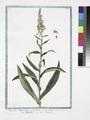 Digitalis Major lutea, vel pallida, parvo flore - Digitella - Digitale. (Yellow Foxglove) (NYPL b14444147-1125118).tiff