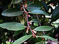 Diospyros sandwicensis (5188006598).jpg
