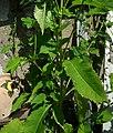 Dipsacus pilosus leaf (11).jpg