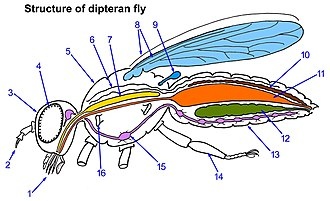 Parasitic flies of domestic animals - 1-Complex mouthparts, 2-Paired antennae, 3-Head, 4-Compound eye, 5-Thorax, 6-Open tube heart, 7-Salivary gland, 8-One pair of wings, 9-Halter, 10-Excretory (Malpighian) tube, 11-Gut, 12-Ovary (or testis), 13-Abdomen, 14-Legs (3 pairs), 15-Thoracic ganglion of nervous system, 16-Spiracle opening to respiratory tube (trachea)
