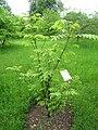 Dipteronia sinensis - Berlin Botanical Garden - IMG 8607.JPG