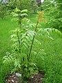 Dipteronia sinensis - Berlin Botanical Garden - IMG 8608.JPG