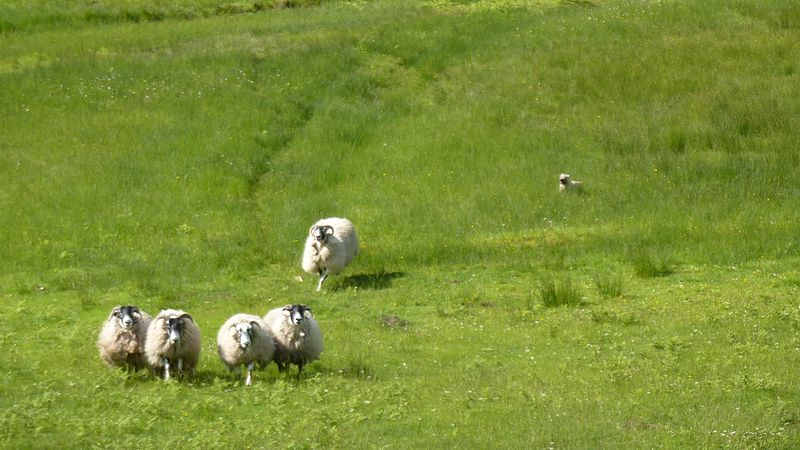 how to stop dog chasing sheep