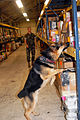Dog in training DVIDS205070.jpg
