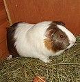 Domesticated guinea pig 16.jpg