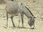 Donkey Equus asinus Tanzania 4806 cropped Nevit.jpg