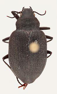<i>Amphizoa</i> Genus of beetles