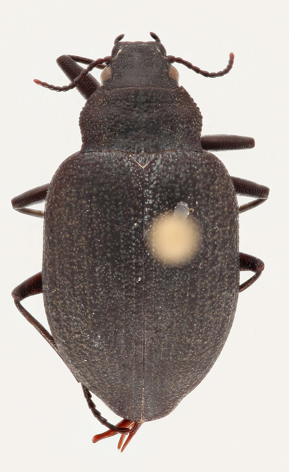 Dorsal Amphizoa insolens