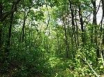 Dovhorakivskyi Botanical Reserve (2019.05.26) 07.jpg