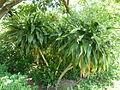 Dracaena aletriformis, habitus, a, Springbokpark.jpg