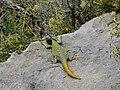 Dragoncito de tres colores (Phymaturus verdugo).jpg