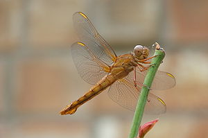 Brown dragonfly (Anisoptera)
