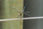 Dragonfly Visiting Borka (7315925596).jpg