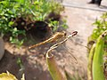 Dragonfly on aloe plant wings.jpg