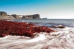 Drake and algae - panoramio.jpg