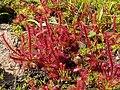 Drosera alba Gifberg.jpg